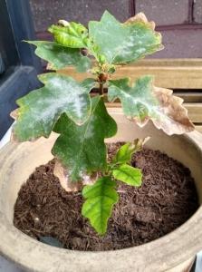 baby-oak-tree